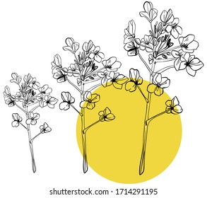 Set with summer flowers, canola. Hand draws field plants in ink, Oliy canola. botanical illustration vintage. Sprig with leaves, buds, flowers. Design for wrapping, wallpaper, textiles.