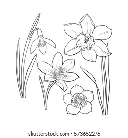 Set of summer flowers, daffodil, snowdrop, crocus, sketch vector illustration isolated on brown background. Realistic hand drawing of spring flowers with stems and leaves, daffodil, snowdrop, crocus