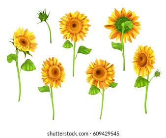 Set of Sunflower plant isolated on white background. Vector realistic summer flower