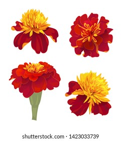 Set of Tagetes patula (French marigold). Red, orange flowers. Botanical illustration in watercolor style for Buddhist garland, Indian religion festive or for Day of dead, top view, vintage, vector