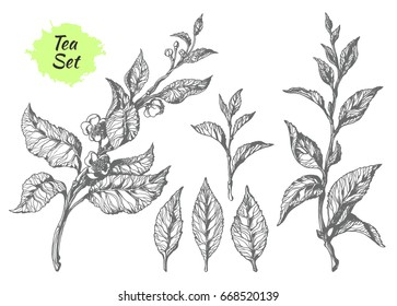 Set of tea bush branches with leaves and flowers. Botanical drawing. Sketch, hatching. Realistic. Nature. Organic product. Vector isolated on white background eps.10