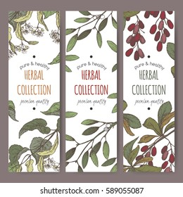 Set of three color vector herbal tea labels with lime tree, mistletoe and barberry based on hand drawn sketch.