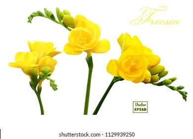 Set of three flowers of yellow freesia with a buds on white background, vector illustration EPS10. Design greeting card and invitation of the wedding, birthday, Valentine's Day, mother's day, Etc.