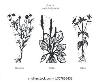 Set of three vector medicinal plants. Vector illustration of medical chamomile. Vector illustration of plantain. Vector illustration of bidens. Set of three linocut medical plants.
