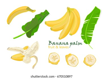 Set tropical palm banana leaves and Single, peeled and sliced fruits. realistic drawing in flat color style, isolated on white background. Vector illustration