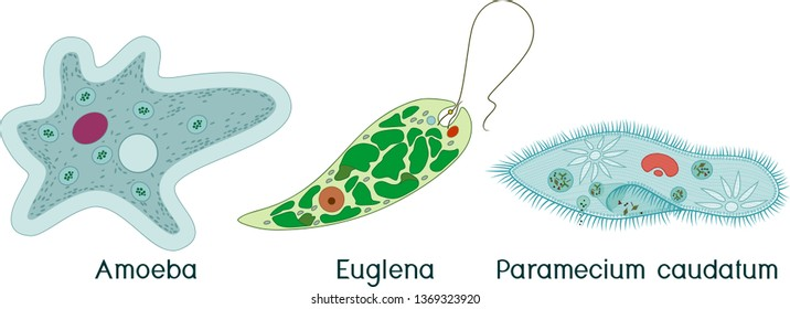 Set of unicellular organisms (protozoa): Paramecium caudatum, Amoeba proteus and Euglena viridis