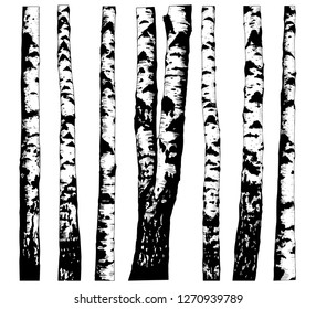 Set of various birch trees.  Hand drawn vector illustration in sketch style.  Isolated objects on white background. Clipart.