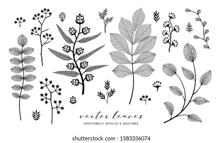 Set of vector branch and skeleton leaf, autumn, spring, summer. Isolated detailed eco macro illustration.  Botanical illustration, vein transparent objects design, line style, not autotrace