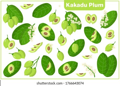 Set of vector cartoon illustrations with whole, half, cut slice Kakadu Plum exotic fruits, flowers and leaves isolated on white background