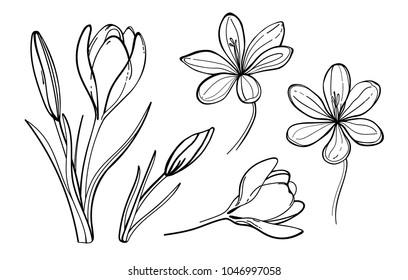 Set of vector crocus flowers