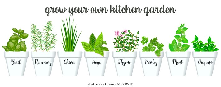 Set of vector culinary herbs in white pots with labels. Green growing basil, sage, rosemary, chives, thyme, parsley, mint, oregano with text above. Gardening. For advertising, poster, banner, web