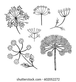 Set of vector different types of inflorescence, isolated on white. Compound inflorescence. Dill or fennel flowers and leaves. Stylized hand drawn vector illustration