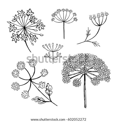 Set vector different types inflorescence isolated stock vector set of vector different types of inflorescence isolated on white compound inflorescence dill mightylinksfo