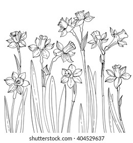 Set of vector drawings of flowers. Daffodils line drawn on a white background. Spring flowers. Sketch black line.