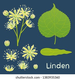 Set of vector elements of linden plant. Leaves, flowers and buds of linden.