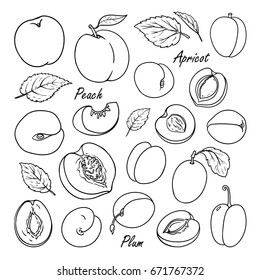 Set of vector fruits: peach, plum, apricot. Hand drawn collection for design, isolated on white. Black lines sketch