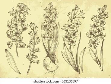 set of vector graphic illustration of hyacinth flowers. Botanical set. retro set
