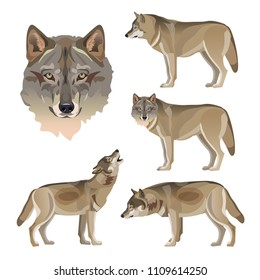 Set of vector gray wolves. Illustration isolated on white background