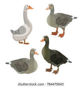 Set of vector greylag geese. Illustration isolated on white background.