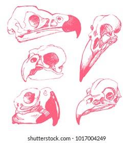 Set of vector hand drawn birds skulls in hand drawn style.