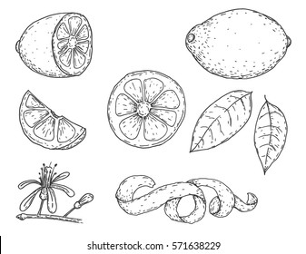 Set of vector hand drawn lemon. Whole lemon, sliced pieces, half, leaf and seed sketch. Tropical summer fruit engraved vintage style illustration. Design elements for branding package, textile.