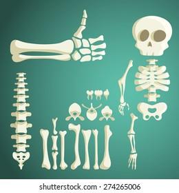 set of vector human bones