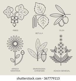Set vector icons medical herbs and plants. Currant, birch, plant olive tree, flower, arnica, jojoba plant, plant acacia. Healthy lifestyle concept. Design to create logo, labels, stickers, Web.