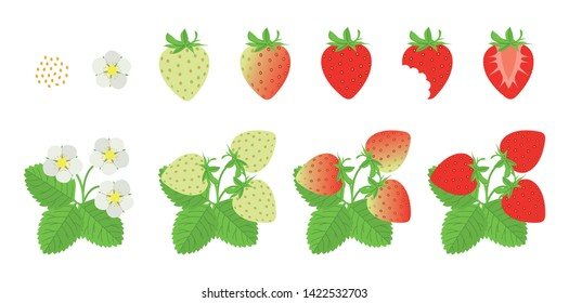 Set of vector illustrations: strawberry growth, seed, flower, green strawberry, ripe strawberry, bitten, half, plant of a strawberry.