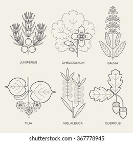 Set of vector illustrations of various herbs. Icons of plants to create posters, logos, labels. Healthy lifestyle concept. Sage, celandine herbs, juniper, linden, oak, tea tree. Eco symbol.