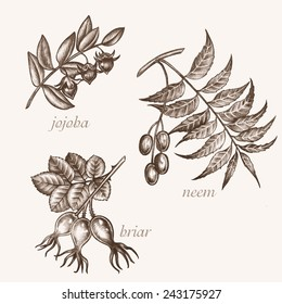 Set of vector images of medicinal plants. Biological additives are. Healthy lifestyle. Jojoba, neem, briar.