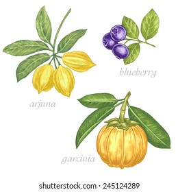 Set of vector images of medicinal plants. Beauty and health. Bio additives. Arjuna, blueberry, garcinia.