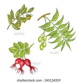Set of vector images of medicinal plants. Beauty and health. Jojoba, neem, brier.
