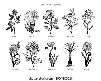 Set of vector linocut drawings of flowers. clover, engraving asters, wild rose, chamomile, medicinal chamomile, lily, marigold, sunflower, cornflower, saffron, poppy. Set of linocut flowers.