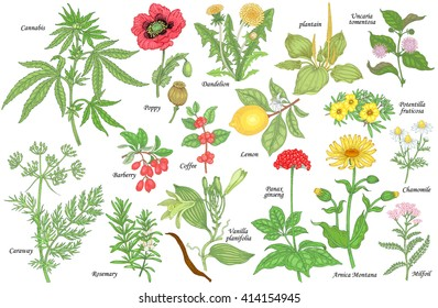 Set of vector medicinal herbs, flowers, plants, spices, fruits. Color illustration Cannabis, Poppy, dandelion, plantain, cumin, barberry, rosemary, vanilla, coffee, ginseng, chamomile, lemon, milfoil.