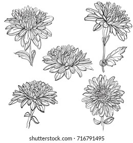 Set of vector outline flowers of chrysanthemum. Black and white line illustration of 	 daisy flowers on a white background. Flower isolated on white.