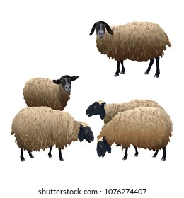 Set of vector sheeps with black head. Illustration isolated on white background