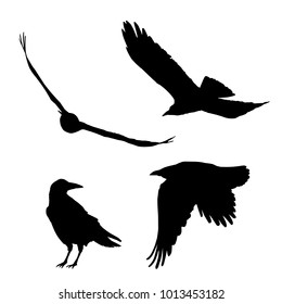 Set of vector silhouettes of ravens and crows, flying and sitting, isolated on white background