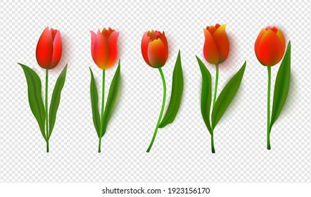 A set of vector tulips set on a transparent background.