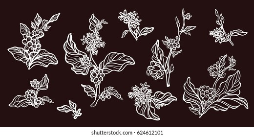 Set of vintage retro handmade pictures. Branches of coffee tree with leaves, flowers and natural coffee beans. Botanical contour drawing. Vector illustration isolated on white background eps.10