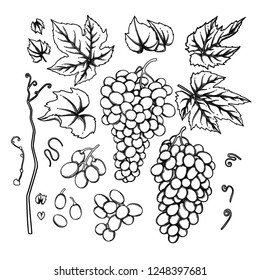 Set of watercolor bunches of grapes, leaves and branches. Vector botanical design elements isolated on white background
