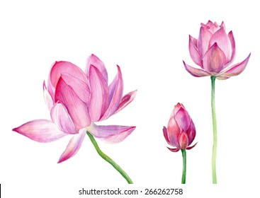 Set of Watercolor Illustration Three Lotus. Vector, isolated on white background. Elements for design of invitations, movie posters, fabrics and other objects.