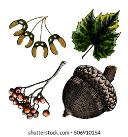 Set, watercolor painted and hand drawn inked rustic maple seeds, drawing of grapes leaf. Rowan or rowanberry. Sorb, ash, pit. Oak nut or seed. Vector.