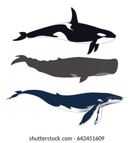 Set of Whales in Simple Realistic Style. Vector Illustration of Three Marine Mammals Isolated on a White Background. Big Blue Whale, Sperm Whale or Cachalot and Killer Whale or Grampus or Orca.