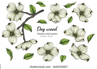 Set of white dogwood flower and leaf drawing illustration with line art on white backgrounds.