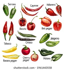 Set whole and half different pepper. Cayenne, cherry, chilaca, poblano, rocoto, serrano, tabasco, bell, jalapeno, habanero. Vector vintage hatching color illustration isolated on white