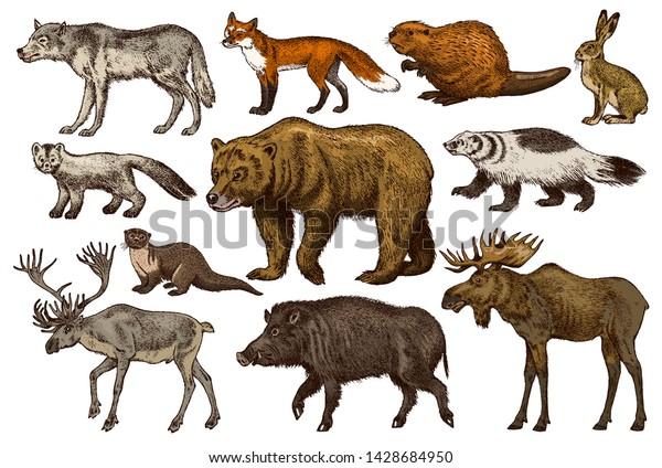 野生動物のセット。オオハシグマの森ムースレッドフォックスノース ...