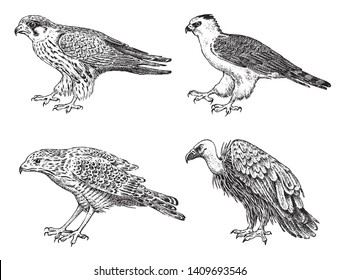 Set of wild birds. Goshawk, Griffon vulture, Pallid harrier, Black kite and eagle. Hand drawn vector sketch in engraved graphic style.