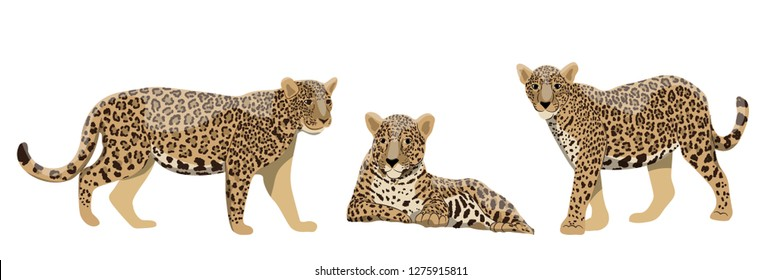 Set of wild cats jaguars or leopards in different poses. Wildlife of the rainforests of the Amazon and South America. Realistic Vector animal