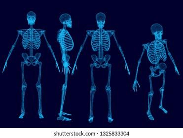 Set with wireframe polygonal human skeletons. Front, back, side, isometric view. Polygonal set of human skeletons of blue lines on a dark background. 3D. Vector illustration.
