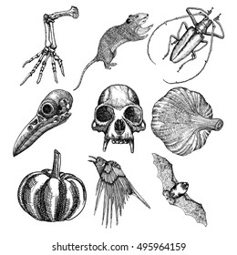 Set of witchcraft magic, occult attributes decorative elements. Monkey, bird skull skeleton hand, bug, beetle, insect, crow, rat, frog, bat, pumpkin, garlic. Set for Halloween. Vector.